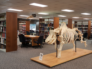 Interior of Vet Med Reading Room, featuring a rhino skeleton